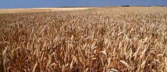 graines champ de blé