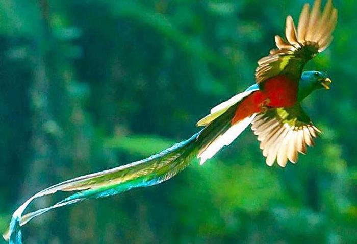 oiseau quetzal costa rica